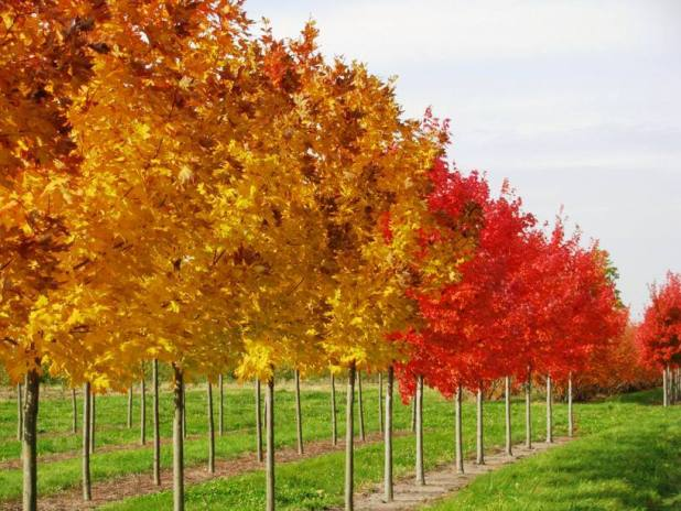 Maple Wood Tree ~ Types of trees photos greeno tree spade services llc